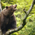 brown bear ursus arctos sitting on a tree screaming loudly stock photo © lightpoet