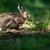 brown hare lepus europaeus stock photo © lightpoet