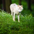 arctic wolf canis lupus arctos aka polar wolf or white wolf   stock photo © lightpoet