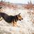 corrida · pastor · coleira · campo · cão · livre - foto stock © lightpoet
