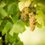 large bunches of white wine grapes hang from an old vine stock photo © lightpoet