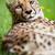 gepárd · fű · szemek · természet · portré · fekete - stock fotó © lightpoet