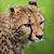 cheetah · gras · ogen · natuur · portret · zwarte - stockfoto © lightpoet