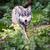Gray/Eurasian wolf (Canis lupus) stock photo © lightpoet