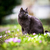 británico · pelo · corto · gato · retrato · pelo · cabeza - foto stock © lightpoet