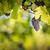 vörösbor · szőlő · növekvő · öreg · szőlőtőke · közelkép - stock fotó © lightpoet