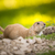 very cute black tailed prairie dog stock photo © lightpoet