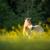 przewalski horse grazing on a lovely meadow stock photo © lightpoet