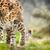 luipaard · portret · mannelijke · South · Africa · natuur · kat - stockfoto © lightpoet