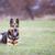 pastor · treinamento · manga · cão - foto stock © lightpoet