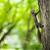 closeup of a red squirrel sciurus vulgaris stock photo © lightpoet