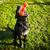 golden · retriever · brinquedo · jovem · cão · retrato · osso - foto stock © lightpoet