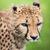 cheetah acinonyx jubatus stock photo © lightpoet