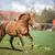 paard · lopen · afbeelding · vallen · paarden · ras - stockfoto © lightpoet