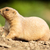 very cute black tailed prairie dog cynomys ludovicianus stock photo © lightpoet