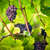 large bunches of red wine grapes hang from an old vine stock photo © lightpoet
