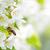 Вишневое · дерево · Nice · вишни · Flash · используемый - Сток-фото © lightpoet