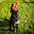 cute · hond · spelen · speelgoed · gezicht · gras - stockfoto © lightpoet