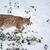 рысь · жизни · парка · Открытый · млекопитающее - Сток-фото © lightpoet