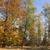 autumn forest stock photo © limbi007