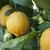 лимоны · зрелый · дерево · листва · лимона - Сток-фото © limpido