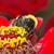 勤勉な · マルハナバチ · 花 · 黒 · 愛 · 自然 - ストックフォト © linfernum
