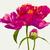 roze · bloem · luxueus · geschilderd · pastel · kleuren - stockfoto © lisashu