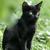 gato · negro · vista · hierba · naturaleza · gato · negro - foto stock © LIstvan