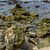 alga · marrom · rocha · costa · escócia · preto - foto stock © lkpro