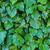 yeşil · yaprakları · farklı · yeşil · yaprakları · bitki · model - stok fotoğraf © lostation