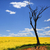 bare tree and golden canola in spring sunshine stock photo © lovleah