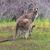 eastern grey kangaroo with joey stock photo © lovleah
