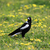 australian magpie cracticus tibicen stock photo © lovleah