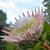 giant king protea stock photo © lovleah