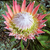 king protea cynaroides bracts and flowers open stock photo © lovleah