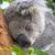 sonolento · coala · árvore · olhos · viajar · nariz - foto stock © lucielang