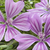 mallow flower stock photo © luiscar