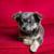 hond · naar · rechtstreeks · camera - stockfoto © lunamarina