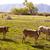 cows cattle grazing in california meadows stock photo © lunamarina
