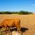 barna · tehén · arany · mező · fű · tájkép - stock fotó © lunamarina