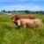 extremadura cows in via de la plata way spain stock photo © lunamarina