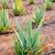 アロエ · フィールド · カナリア諸島 · スペイン · 花 · テクスチャ - ストックフォト © lunamarina