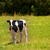 vaca · fazenda · campo · grama · verde · macio · céu - foto stock © lunamarina