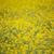 黄色 · 春 · フィールド · 選択フォーカス · 地中海 · スペイン - ストックフォト © lunamarina