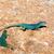 kleurrijk · hagedis · steen · geïsoleerd · witte · groene - stockfoto © lunamarina