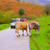 cows in a pyrenees road of irati jungle at navarra spain stock photo © lunamarina