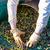 aceitunas · árbol · creciente · olivo · hoja · frutas - foto stock © lunamarina