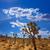 joshua tree national park yucca valley mohave desert california stock photo © lunamarina