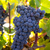 Bobal Wine grapes in vineyard raw ready for harvest stock photo © lunamarina