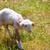 子羊 · 風景 · 小さな · 立って · 丘 · 見える - ストックフォト © lunamarina